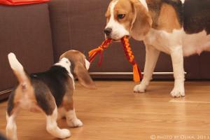 игрушка для щенка бигля