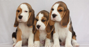 Barstail Beagles litter G