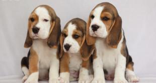Barstail Beagles litter G