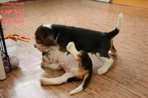 щенки бигля 1 месяц