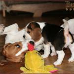 puppy_40d_7
