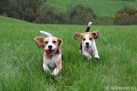image 221014_beagles_5-jpg