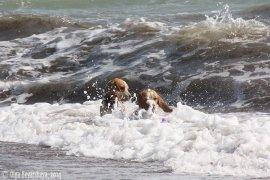 Бигли на море, сентябрь 2014